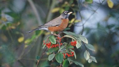 The American robin has declined in some southern states, but increased further north. US Fish and Wildlife Service
