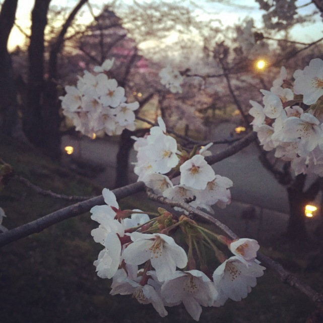 koyama-2-cherry-blossoms-sakura-photographed-by-mokomo-i-think-the-sakura-in-my-home-town-is-the-best-after-all-says-mokomo.jpg