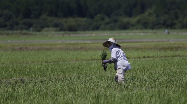 Fukushima rice sold to Britain june 20 2016.jpg