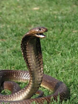 cape-cobra
