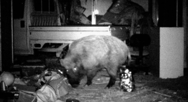 Gun.control.heartburn.Radioactive.boars_.are_.amok_.in_.Fukushima-1.jpg